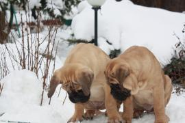 Excellent bullmastiff puppies