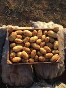 KFH implements new potatoes wholesale