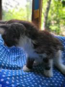котенок (девочка) 1.5 мес