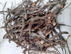 Лапчатка Белая корни дикорастущие сбор Осень 2019