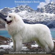 Male Pyrenean Mountain Dog for mating
