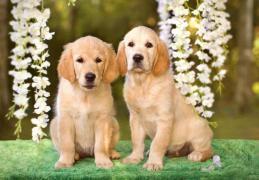 Продаются щенки золотистого ретривера