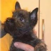 "Puppies Cairn Terrier kennel ""Solven House"""
