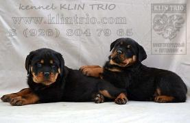 Puppies Rottweiler (pedigree RKF)