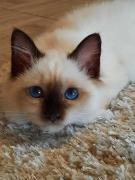 Sacred Burma kittens