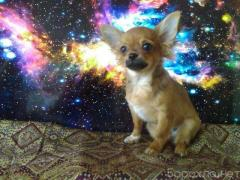 Selling. Guardians of the galaxy Chihuahua puppies in Samara