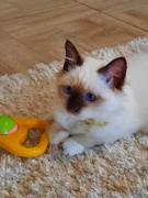 Священная бирма-котята