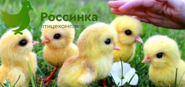 To buy chickens hens in Orenburg