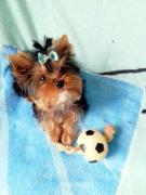 Yorkshire Terrier. Healthy, beautiful
